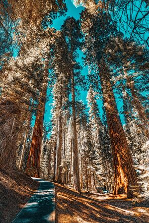Forest of ancient sequoias in Yosemeti National Park. California. USA 版權商用圖片