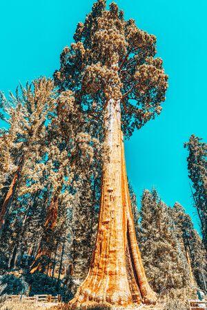 Forest of ancient sequoias in Yosemeti National Park. California. USA Stock fotó