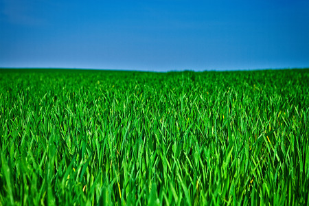peaceful background: Beatiful morning green field with blue heaven
