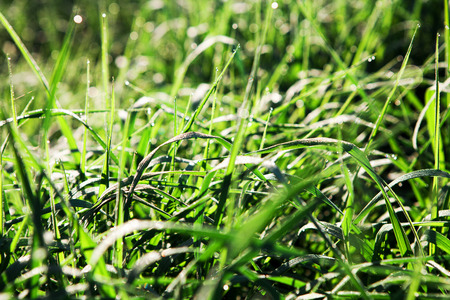 dews: green grass with dews drop