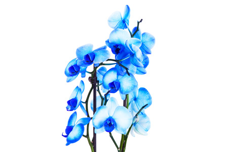 blue orchid: blue orchid on white Stock Photo