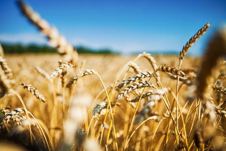 Campo de trigo Foto de archivo - 37470200