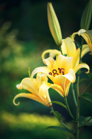 keukenhof: Yellow lilies in the Keukenhof park