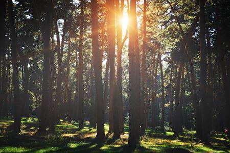 arbol de pino: árboles forestales otoño. naturaleza madera verde luz del sol fondos.