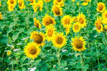 agrar: sunflower with blue sky and beautiful sun  sunflower
