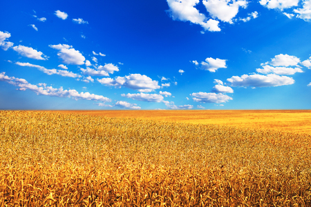 processed grains: Wheat field