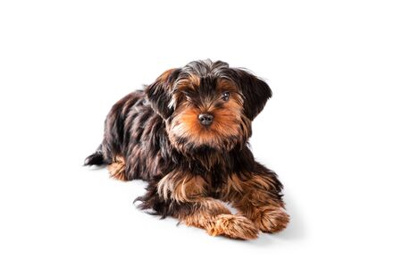 Cute puppy of the Yorkshire Terrier lies on white background Banque d'images - 138181347