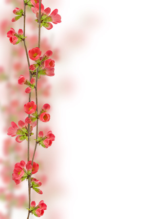 crabapple: Photograph of Japanese crabapple flowers placed vertically and isolated on a white background. Stock Photo