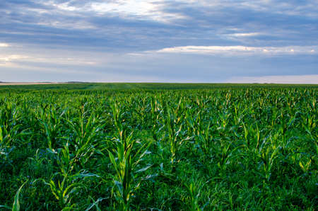 Growing corn in the field for the processing industry. Corn grains produce starch, alcohol, glucose, molasses, and high-quality oil used for food and technical purposes Archivio Fotografico