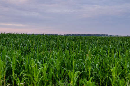 A cornfield at dawn when it rains in the distance. Corn plantation against overcast sky