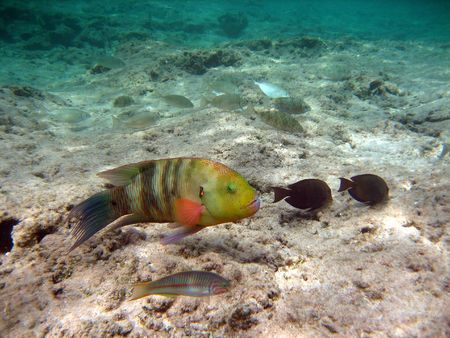 snorkelling: Tropical Fish - Red Sea - Egypt