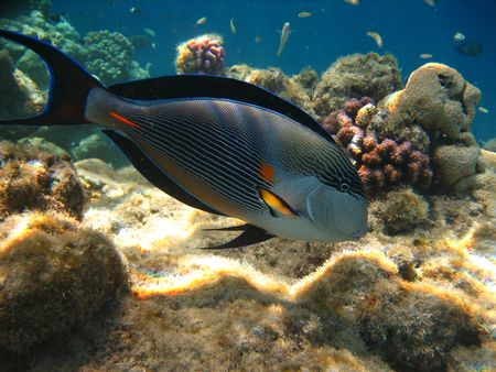 surgeon fish: Pez cirujano tropical