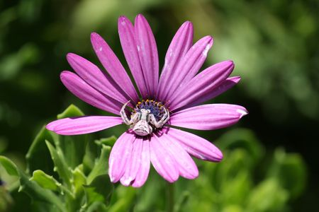Little spider rests on purple daisy waiting for insects photo