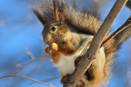 Red squirrel. photo