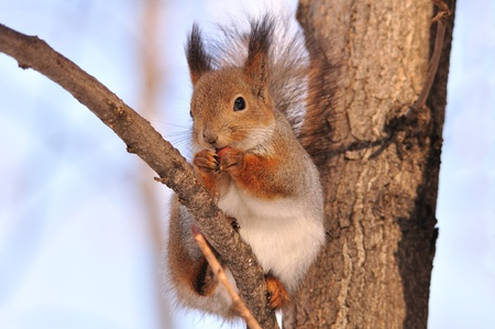 eye red: The red squirrel eats a nut. Stock Photo
