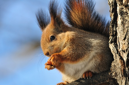 The red squirrel eats a nut. photo