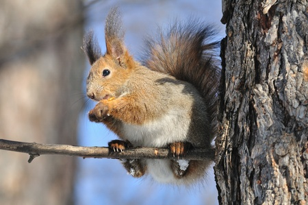 The squirrel sits on a tree. Stock Photo - 9479510