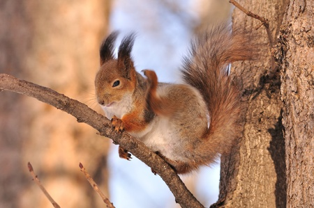 The squirrel sits on a tree. Stock Photo - 10978604