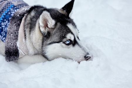 Husky dog liying on the snow in winter.Closeup. Archivio Fotografico - 115139099