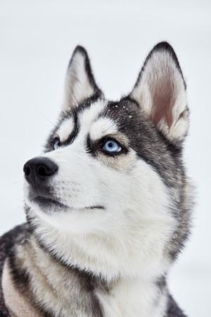 Siberian husky dog closeup portrait.Puppy.Emotion of dog.Looking on side
