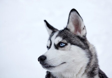 Siberian husky dog closeup portrait.Puppy.Emotion of dog.Looking serious. Archivio Fotografico - 115139154