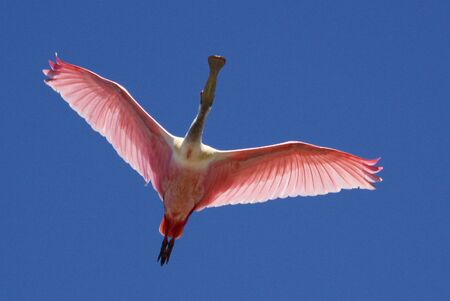 A roseate spoonbill soars overhead. this image elements furnished by