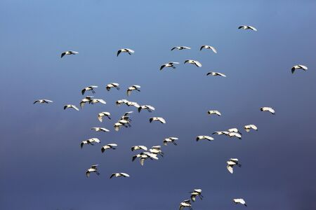 A flock of egrets soars above.this image elements furnished by 版權商用圖片