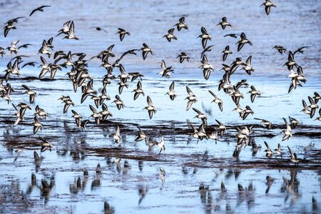 A gaggle of sandpipers fly over glassy water. this image elements furnished by 版權商用圖片