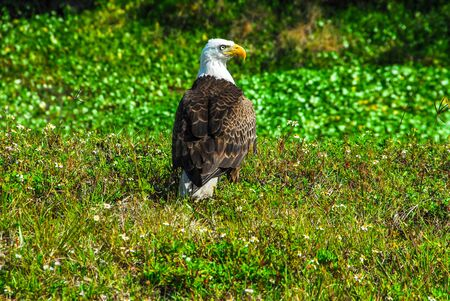 This adult bald eagle rests on the ground near a pond. this image elements furnished by