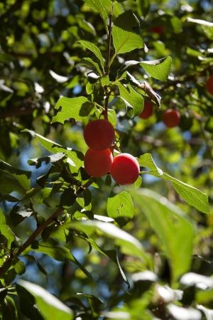 wilding: Plum tree Stock Photo