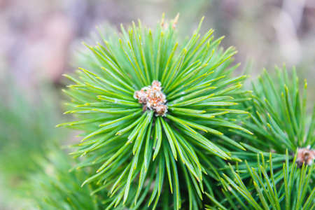 pine branch close up Stock Photo
