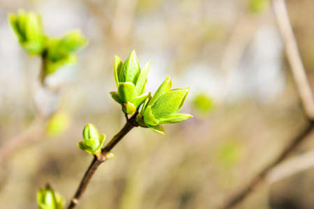 Background, Blossoming buds of lilac. Spring, branch of lilac with leaves blossoming. Closeup.