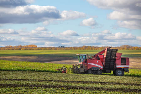 sugar beet harvesting with a modern combine harvester. Blue sky, red combine