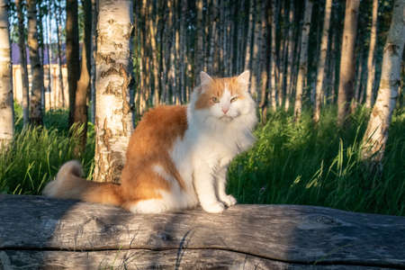 a red cat sits on a log in the evening sun. Green grass and forest in the background