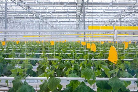 young cucumber bushes in a modern new greenhouse . Growing with hydroponics in a heated greenhouse