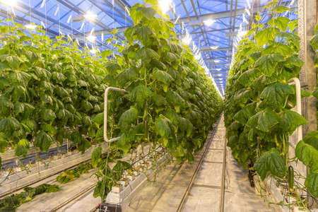 cucumbers in a modern new greenhouse with electric lighting. Growing with hydroponics in a heated greenhouse
