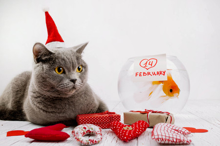 gray cat sitting near aquarium with fish and gift boxes