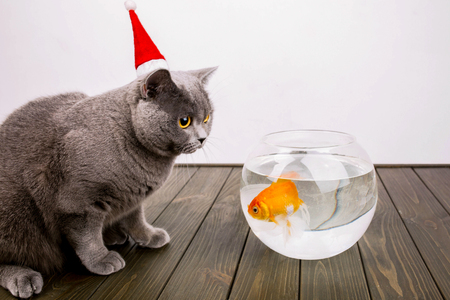 scarred: Scarred grey British Shorthair cat stands before aquarium with golden fish