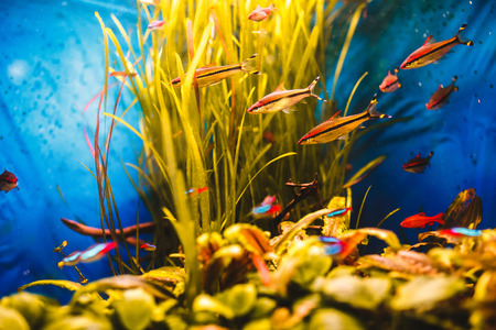 Orange fish swim in a blue aquarium Stock Photo