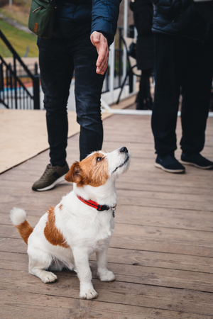 Cute small dog Jack Russell Terrier sitting among a croud of people outdoors Banco de Imagens