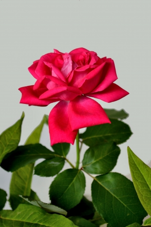 wilting: Magenta Rosa marchita Foto de archivo