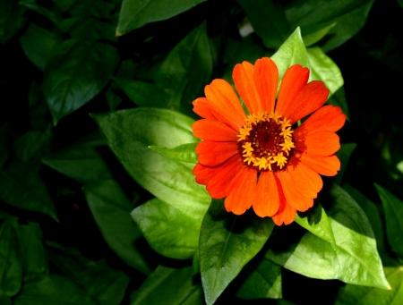 elegans: Orange Zinnia Elegans