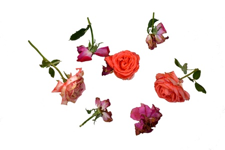 wilting: Roses, Isolated, in Different Phases of Wilting