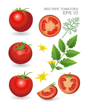 dill: Vector illustration. Red ripe fresh realistic tomatoes with leaves, blossom and dill isolated on white background