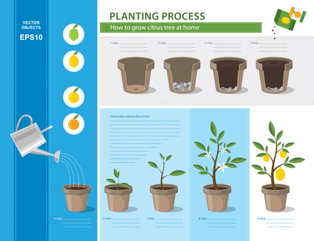 potting soil: Vector timeline infographic concept of planting process in flat design. How to grow citrus tree at home easy step by step. Illustration of ceramic flower pots with potting soil and cycle lemon tree