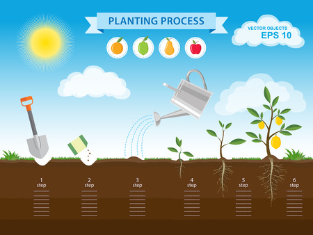 Vector infographic concept of planting process in flat design. How to grow a tree from the seed in the garden easy step by step. Design of garden elements Ilustrace