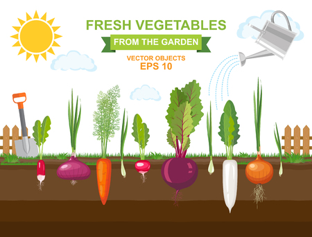 Vector illustration of colorful fresh organic food vegetables. Spring vegetable garden with different kind root veggies and watering can