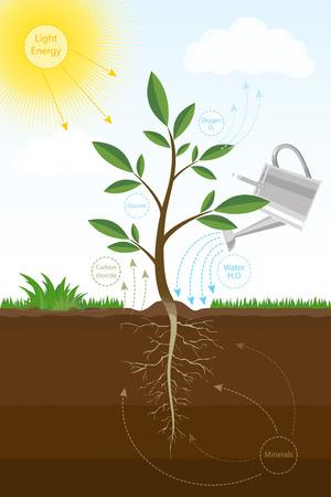 Ilustración vectorial colorido del proceso de fotosíntesis en la planta. Esquema biológico de la fotosíntesis para la educación.