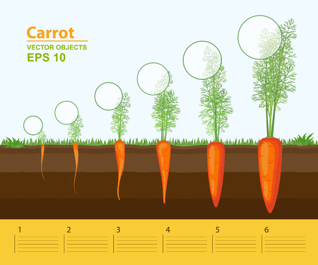 Vector illustration. Phases of growth of a carrot in the garden. Growth, development and productivity of carrot. Growth stage. Distance between plants. Infographic concept