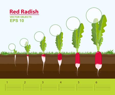 Ilustración del vector. Fases de crecimiento de un rábano rojo en el jardín. Crecimiento, desarrollo y productividad del rábano rojo. Etapa de crecimiento. Distancia entre plantas. Concepto de Infografía Foto de archivo - 85269837